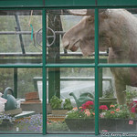 Excuse me, there's a moose in your greenhouse...